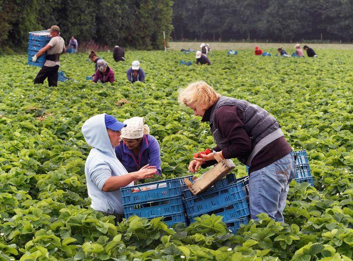 Arbeidsmigranten die seizoenswerk doen: aardbeien plukken. Arbeidsmigranten in de gemeente Steenbergen moeten bij voorkeur woonruimte krijgen bij het bedrijf waar ze werken.