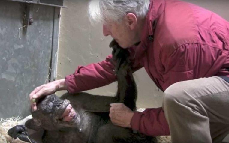 De stervende chimpansee 'Mama' herkent en streelt haar verzorger, Dokter Jan Van Hooff, in de Zoo van Arnhem.  Beeld still