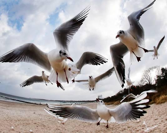 Meeuwen worden vaak gedood om de vliegroutes veilig te houden.