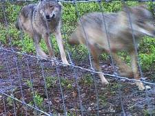 'Park Hoge Veluwe schendt door wolfwerende hekken miljoenendeal met provincie Gelderland'