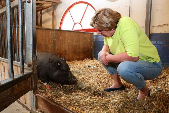 Hangbuikzwijn Sjaak in de stal van het Natuurcentrum, samen met coördinator Wilma van Leusden.