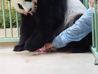 Franse zoo verwelkomt twee babypanda's