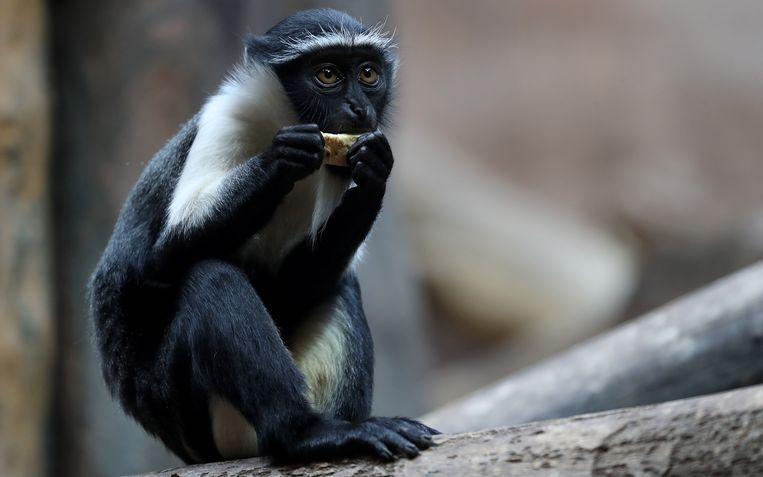 Een roloway-aap in de dierentuin van Duisburg. De roloway-aap is een van de meest bedreigde apensoorten ter wereld. Beeld EPA