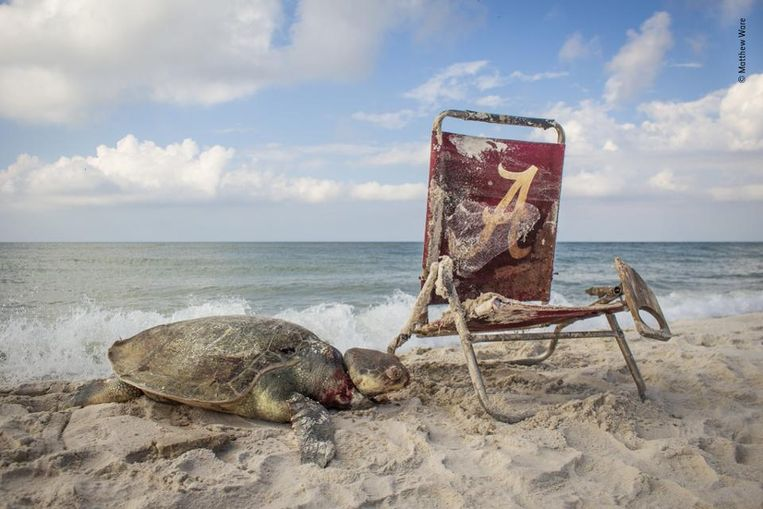 De meest bedreigde. Een zeldzame Kemps-zeeschildpad zit op het strand van Alabama gevangen in een lus van een strandstoel. Wildlife Photographer Of The Year