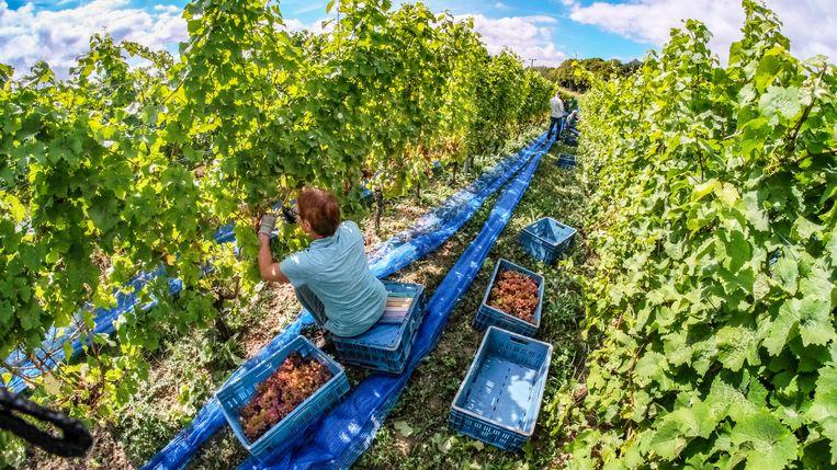 In wijndomein Entre-Deux-Monts is de druivenpluk al vroeg begonnen.