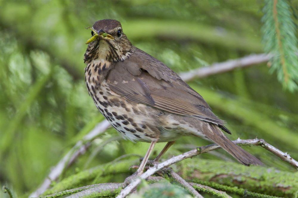 We hangen volop vogelnestjes op, terwijl een haag voor veel vogels, zoals heggenmussen, merels en lijsters (foto), dé nestgelegenheid bij uitstek is