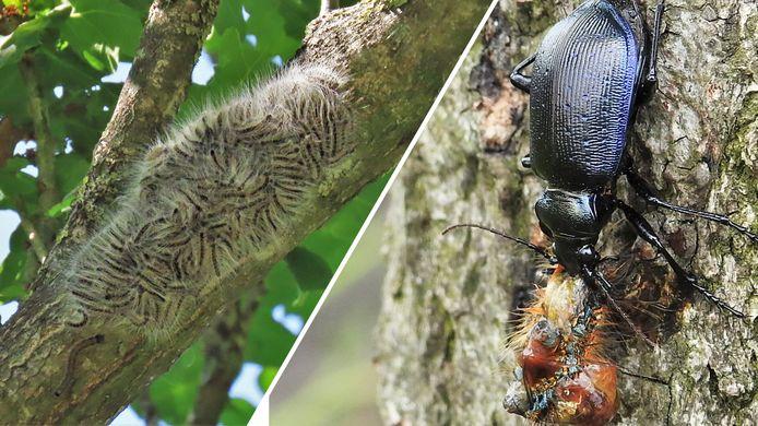 Een nest processierupsen. Rechts de de kleine poppenrover, een van de natuurlijke vijanden van de rups.