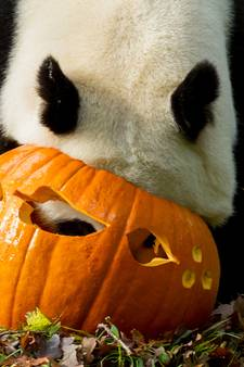 Schattige beelden: reuzenpanda's Rhenen aan de Halloween-dis