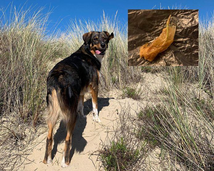 Hond Dani van Merel uit Hellevoetsluis. Rechts het stuk vlees met de glasscherven erin dat hij in zijn bek had.