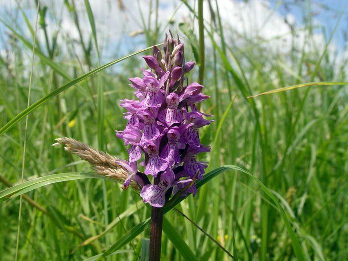 Rietorchis, een Europese orchideeënsoort.