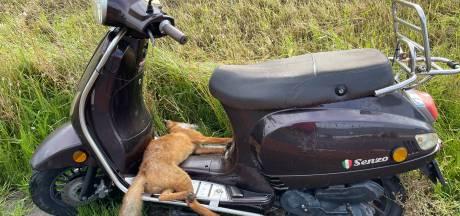 Dode vos gevonden op scooter langs Strandweg in 's-Gravenzande