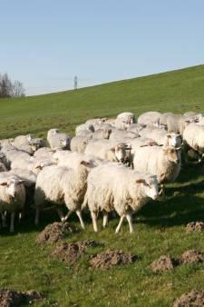 Veel grasland op dijken uitgegeven voor hooi of schapen