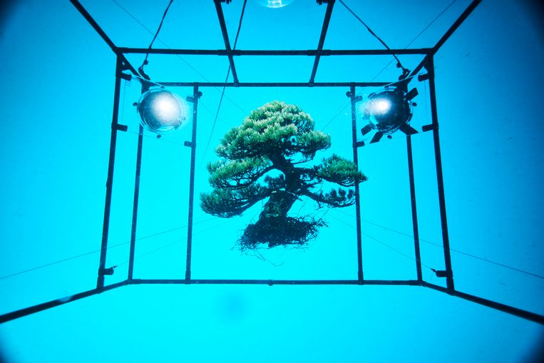 Makoto Azuma verhuist een bonsaiboompje naar een vreemde omgeving. Beeld AMKK