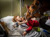 Aangrijpend: paard Peyo troost kankerpatiënten