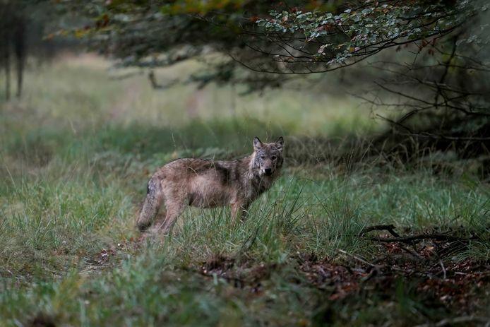 Een wolf op de Veluwe, vastgelegd door natuurfotograaf Otto Jelsma.