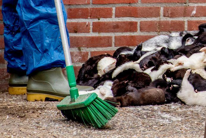 Medewerkers zijn bezig met het ruimen van nertsen. Foto ter illustratie, dit is niet de nertsenfokkerij waar het in dit artikel om gaat.