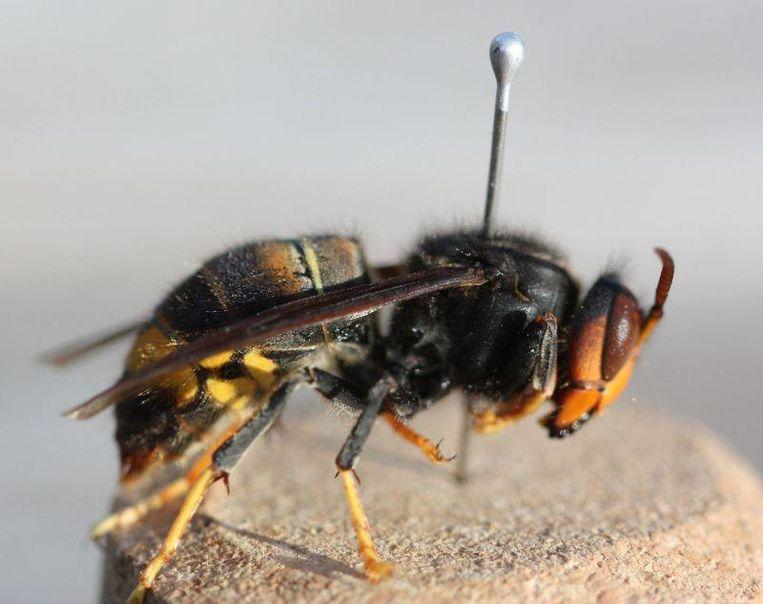 De Aziatische hoornaar is groter dan de gewone wesp, maar blijkbaar minder agressief.