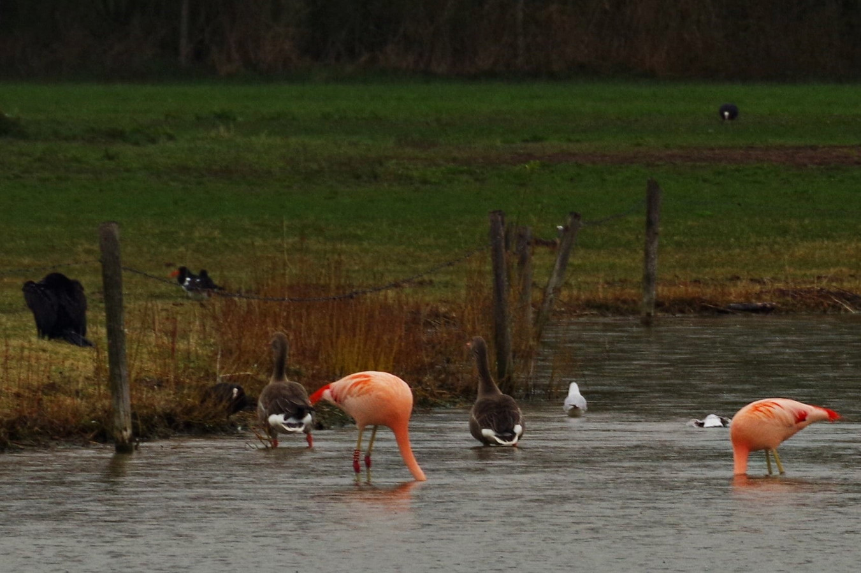 Flamingo's op zoek naar eten in 't Hilgelo, Winterswijk.