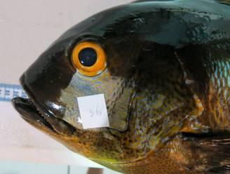 Snapper van maar liefst 81 jaar is oudste vis ooit aangetroffen in koraalrif