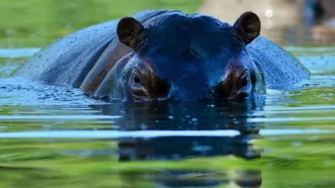 Les envahissants hippopotames de Pablo Escobar stérilisés