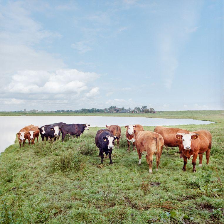 Blaarkopkoeien in natuurgebied De Moordenaarsbraak, bij Purmerend, 2018. Beeld Loek Buter