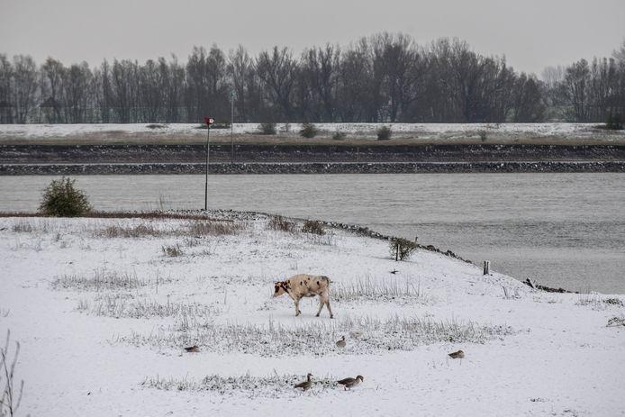 Een witte koe in de besneeuwde uiterwaarden van Tiel