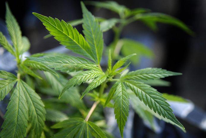 A côté de ses caractéristiques décriées comme ses effets addictifs et néfastes sur le cerveau, le cannabis a aussi des qualités indéniables. Cette plante permet d'extraire les métaux lourds du sol. Ses tiges, sources de fibres, sont utilisées dans l'industrie du textile ou la construction, et ses fleurs ont un intérêt pharmaceutique.