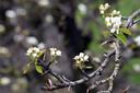 Door de lage temperaturen komen de fruitbomen later in bloei.