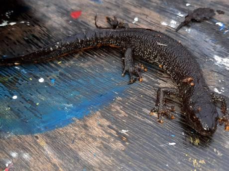 Over de kamsalamander en andere beschermde dieren die ons aardig in de weg kunnen zitten