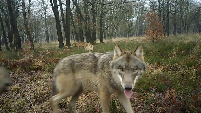In januari legde een wildcamera op de Veluwe deze wolvenfamilie vast. Het zijn de eerste beelden waarop de hele familie te zien is.