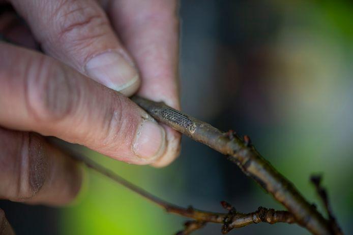 De eerste eikenprocessierupsen komen uit hun ei. Dat heeft eigenaar Andre Trip van bestrijdingsbedrijf Grootgroener ontdekt.