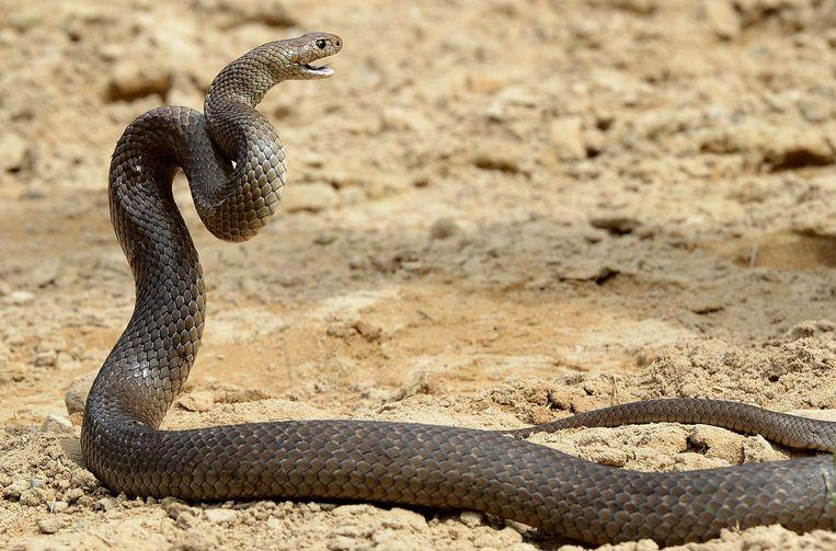 Een bruine slang (Pseudonaja textilis) Beeld anp