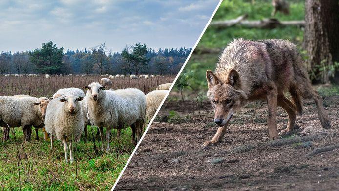 Schapenboeren willen hek om Friesland tegen wolven.