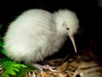 Extreem zeldzame witte kiwi overleden in Nieuw-Zeeland