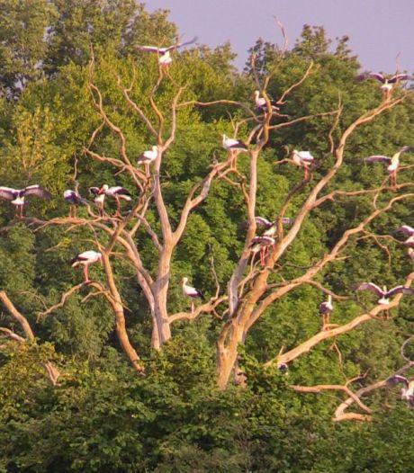 Wow! Tientallen ooievaars verzamelen zich in grote boom in weiland bij Losser