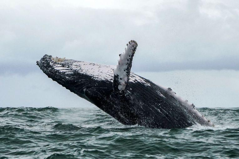 Een bultrugwalvis. Beeld AFP