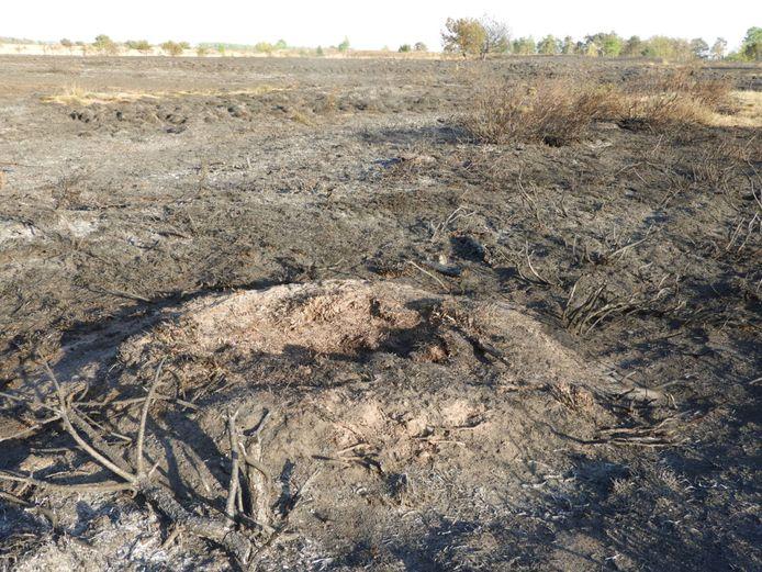 Een verbrand mierennest op de Strabrechtse Heide