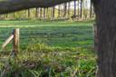 Op landgoed Valkenhorst in Heeze-Leende leven veel wilde zwijnen. Ze ploegen hele grasvelden om op zoek naar eten.
