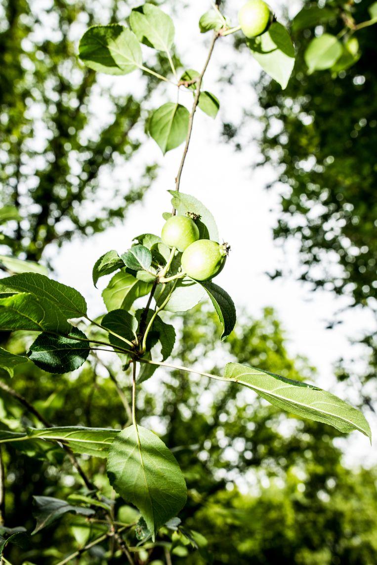 De kleine appels van de zeer zeldzame wilde appel. Beeld Jan Mulders