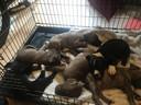 De pups