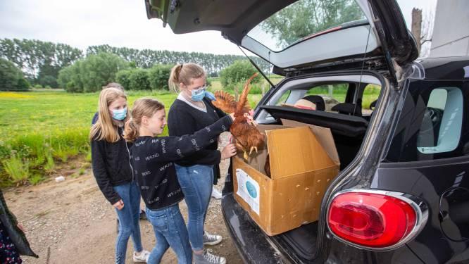 Vierhonderd kippen vinden nieuwe thuis bij 140 Gooikse gezinnen