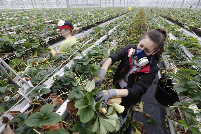 Poolse vrouwen aan het werk in een aardbeienkas.