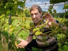 Slechte druivenoogst door natte zomer en schimmels. 'We hadden beter champignons kunnen kweken'