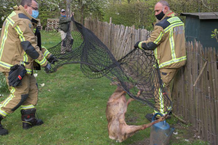 De dierenbescherming uit Kapellen kwam ter plaatse om te proberen het reetje te vangen voor verzorging. Dat lukte echter niet.