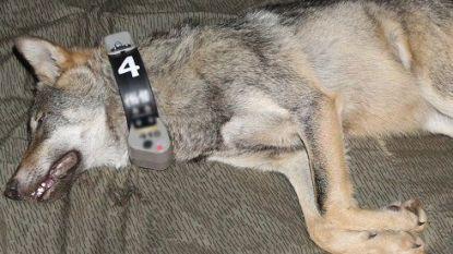 Naya heeft het naar haar zin in Limburg: eerste 'Belgische' wolf nog steeds in de bossen van Leopoldsburg
