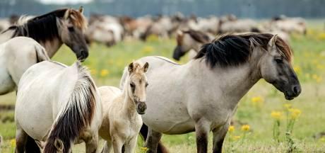 Rechter ziet geen beletsel vangen konikpaarden
