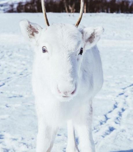 Noorse fotograaf spot zeldzaam wit rendier