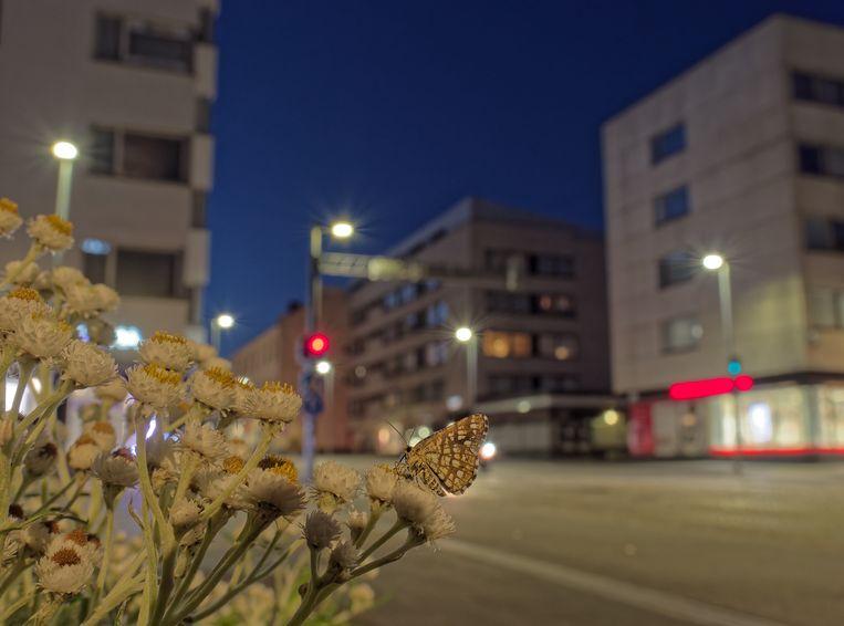 Omdat er zoveel kunstmatig licht is, denkt de vlinder mogelijk dat het langer dag is.  Beeld Sami Kivelä