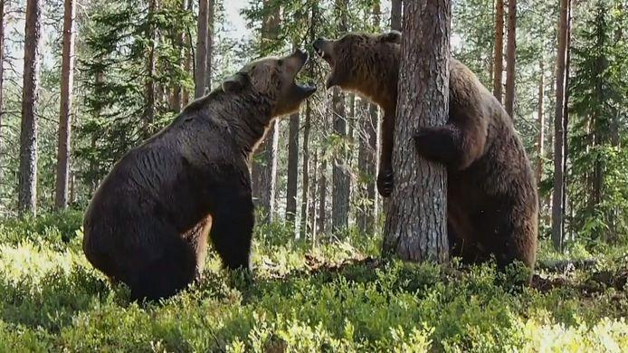 Une équipe de tournage est restée sans voix lorsque deux ours ont commencé un combat féroce.