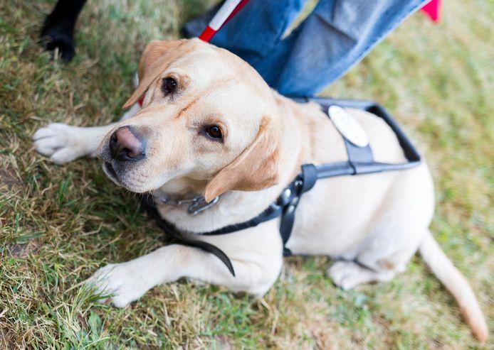Entre 150 et 200 chiens d'assistance pour personnes en situation de handicap sont actuellement en service en Wallonie et à Bruxelles.